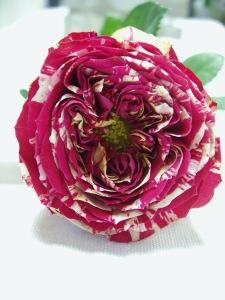 Rose 'Ranuncula'